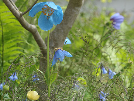 The Blue-flowered Himalayan poppies that feature on the garden
